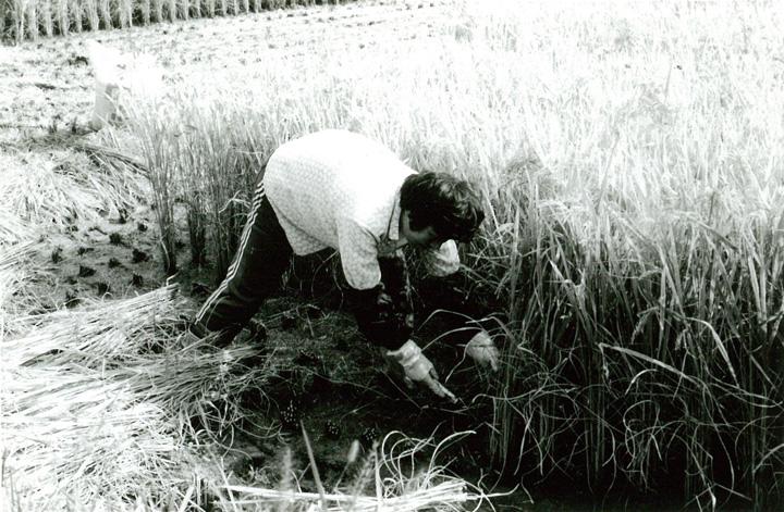 鎌で稲を刈る