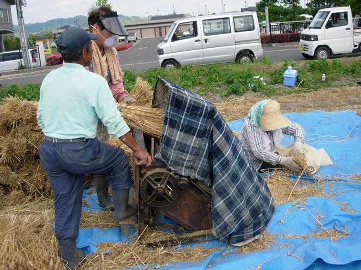 足踏み回転脱穀機を用いた麦の脱穀