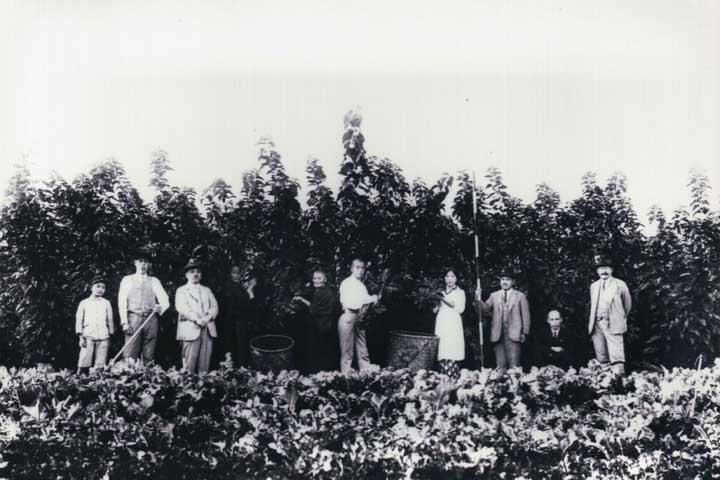 相楽郡養蚕業組合の栽桑(さいそう)指導