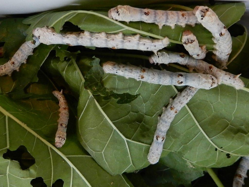 桑の葉を食べるカイコ